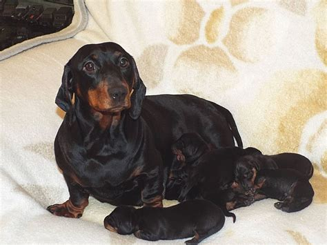 Standard Dachshunds Puppies For Sale | Guildford, Surrey ...
