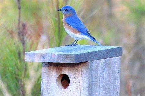 bluebird houses attract nesting bluebirds