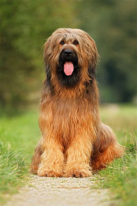 briard breed briard breed information pictures characteristics facts dogtime