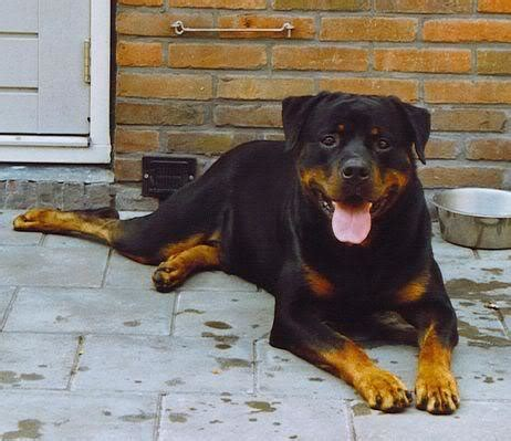 rottweiler needs the rottweiler needs plenty of exercise but can be cotent living in an apartment