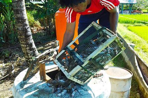 membuat jebakan tikus yang uh wow petani ini bisa membuat pupuk organik cair dari