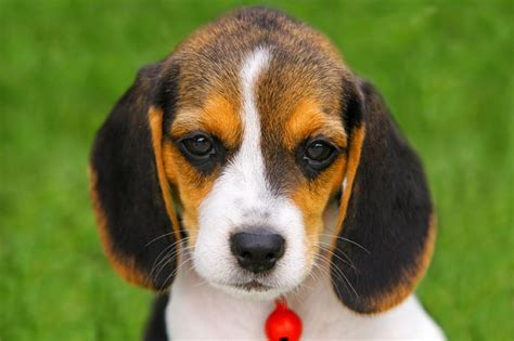 pictures of puppy beagle puppy pictures slideshow