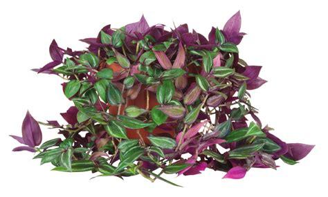 zimmerpflanzen die viel sonne vertragen dreimasterblume als zimmerpflanze 187 so pflegen sie sie richtig