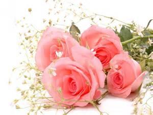 Pink rose flower desktop image daily pics update hd wallpapers