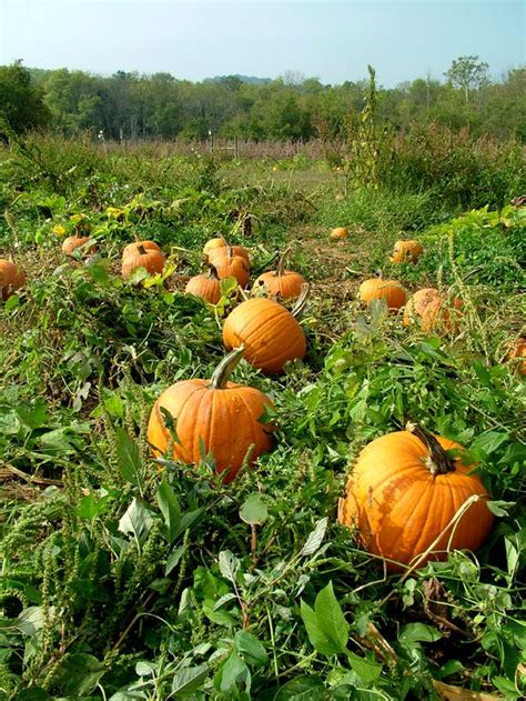 Pumpkin Garden by 10 Tips For Growing Pumpkins And Learn When To Plant And