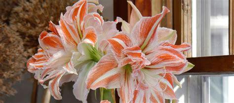 piante da appartamento fiorite piante fiorite per la nostra casa