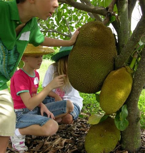 Bibit Nangka Mini tanaman nangka mini jackfruit bibitbunga