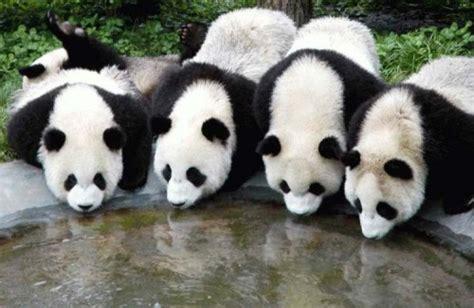 imagenes de osos navideños fotos de osos panda