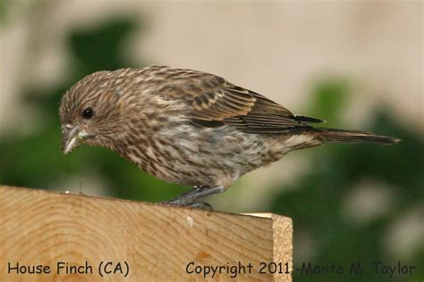 california house finch house finch