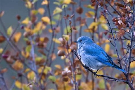 bluebird project audubon society of greater denver