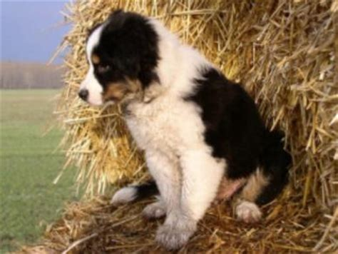 australian shepherd puppy names puppy names australian shepherds australian shepherd tips breeds picture