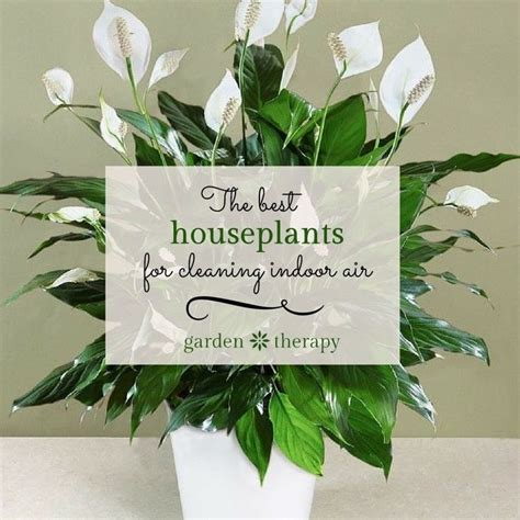 peace lily in bathroom best 25 peace lily ideas on pinterest peace lilly plant