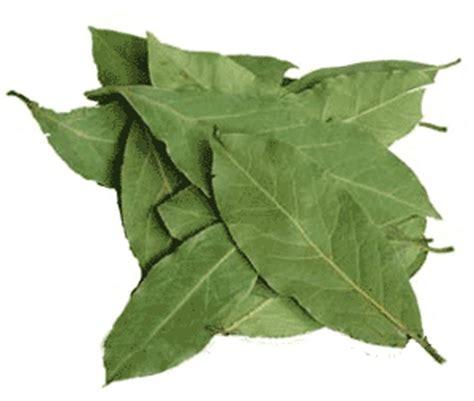 Tanaman Obat Herbal Daun Seribu tanaman obat daun salam untuk mengobati dan menyembuhkan