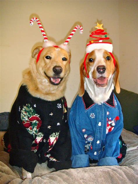 golden retriever sweater did somebody say sweater we re in golden retriever