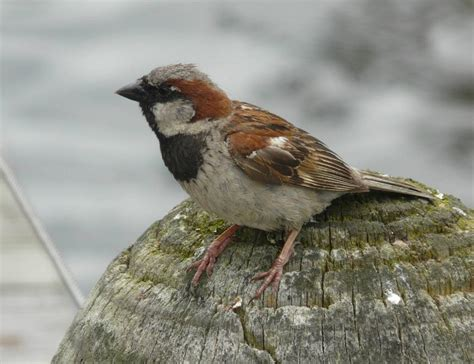 house sparrow new zealand birds online