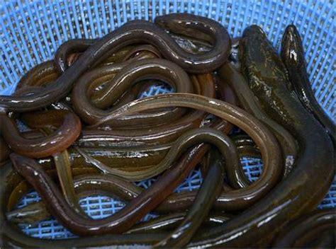 cuisiner des anguilles l anguille est un poisson de forme allong 233 e
