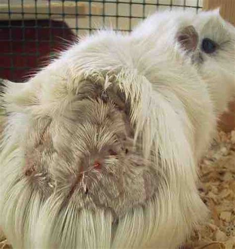 haarausfall durch schuppen meerschweinchen info parasiten beim meerschweinchen