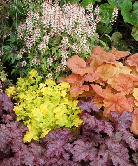 Southern Comfort Coral Bells by Heuchera Southern Comfort Coral Bells