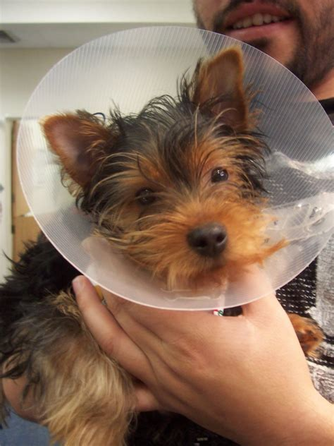 liver shunt in yorkies liver disease in dogs and cats liver shunts