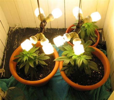 cfl ls for growing weed growing pot indoors lighting lighting ideas