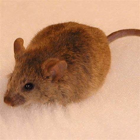 how to get rid of mice in house how to get rid of mice in the house how to get rid of stuff