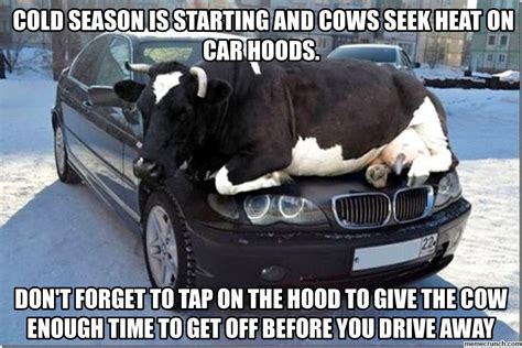 Cow Memes - meme cows on car hoods