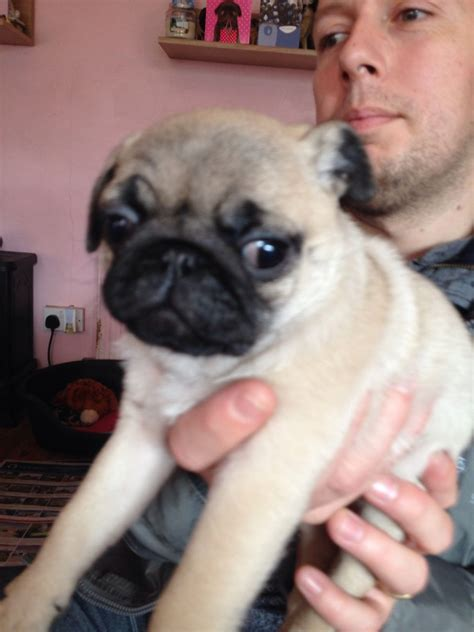 pugs for sale in brighton 14 week pug for sale brighton east sussex pets4homes