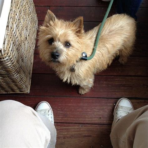 trim cairn terrier face how to trim a scottish terrier tail hairstylegalleries com