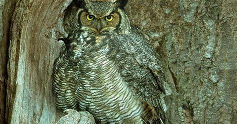 great horned owl ohio birds and biodiversity