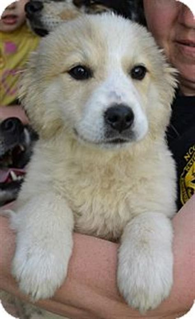australian shepherd golden retriever mix adoption brook pending adopted puppy westport ct golden retriever australian shepherd mix