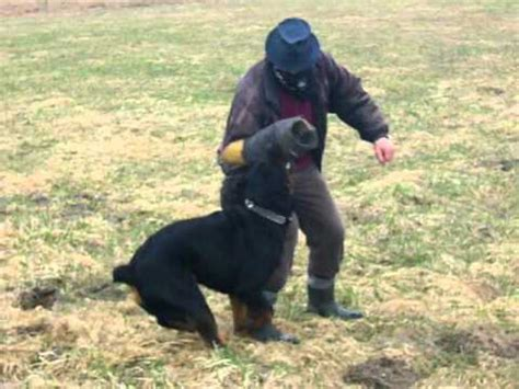 rottweiler obedience classes rottweiler guards 9months
