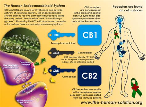 cbd hemp the secret cure of the human books marijuana the endocannaboid system how it works