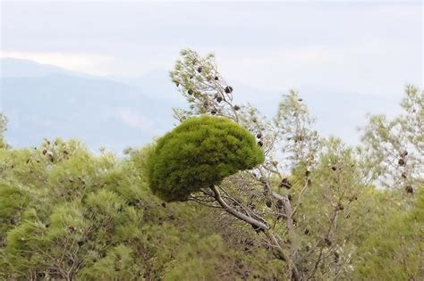 Palo Verde Tree With Witches Broom   Motorcycle Review and