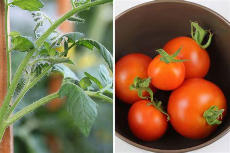 Tomaten Selbst Z Chten 5195 by Tomaten In Der Wohnung Tomaten In Der Wohnung Tomaten In