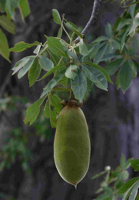 baobab fruit baobab seed is trees planet adansonia digitata baobab