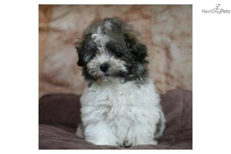havanese cross breeds meet a havanese puppy for sale for 900 havanese x bolognese cross havabolo