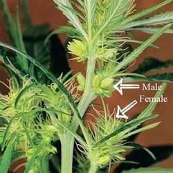 was ist eine le was ist eine zwittrige cannabis pflanze zativo