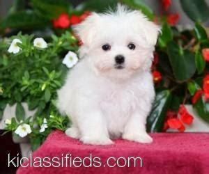 free puppies in iowa 17 best images about pet info on crested maltese puppies and