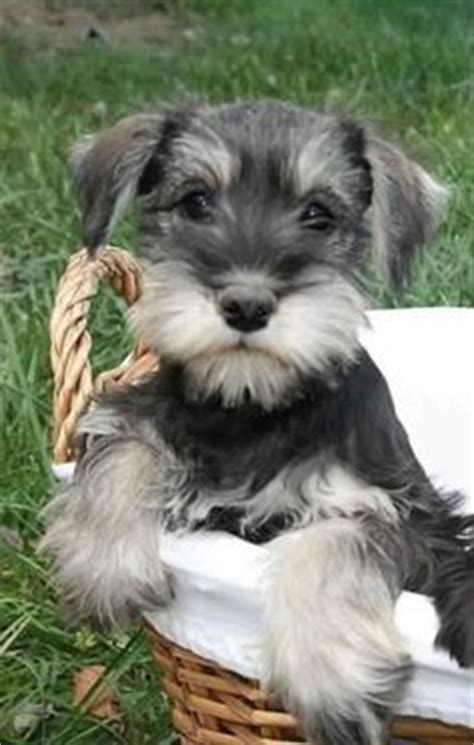 standard schnauzer puppies ohio micro teacup schnauzer puppies for sale this is rowdy he is a black and white