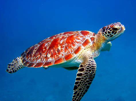 colorful turtles colorful sea turtle