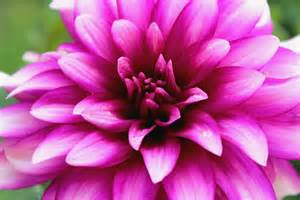 popular flowers dahlia lens snippets