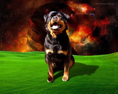 rottweiler hd pics rotweilers images rottweiler hd fond d 233 cran and background photos 13711504