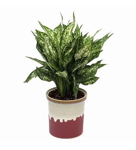 exotic green green aglaonema indoor plant english purple