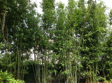 bamboo landscaping ideas the latest home decor ideas