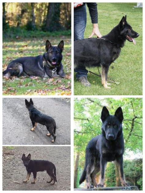 bi colors black and or bi color german shepherd forums
