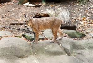Jobs Hiring Around Me by Ohio Dnr Confirms Increase Of Bobcat Sightings West Bend