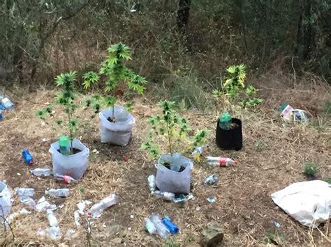 coltivare marijuana vaso va a coltivare i ci e trova sette vasi di marijuana