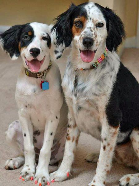 australian setter dog lillian the english setter mix and her bff have hot pink