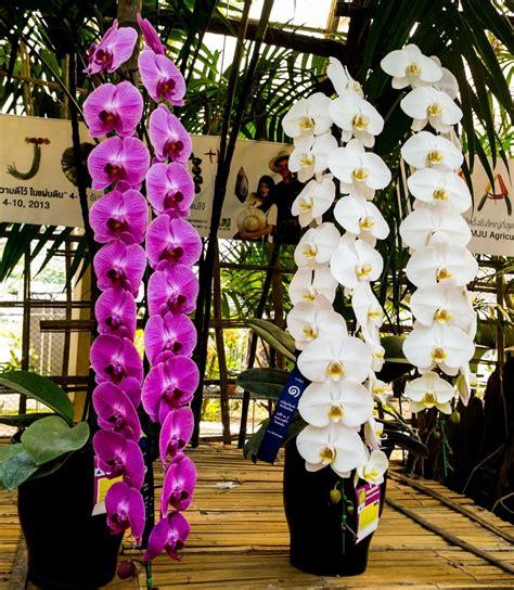 manutenzione orchidee in vaso orchidea tutte le sue caratteristiche