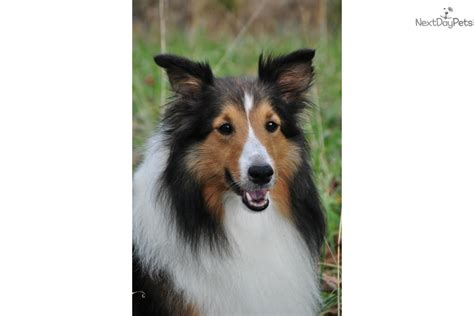sheltie puppies for sale in ga cuddles registered sheltie shetland